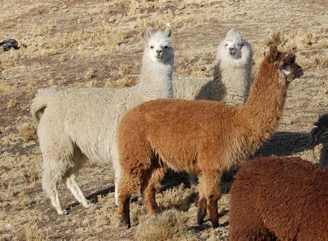 lana di alpaca caratteristiche